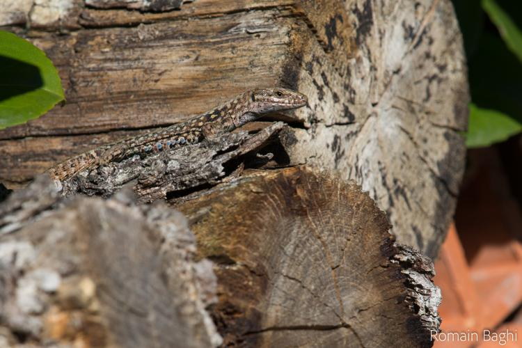 Lézard des murailles mâle sur un muret © Romain Baghi