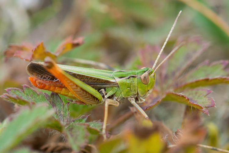 Stenobothrus lineatus lineatus © Romain Baghi