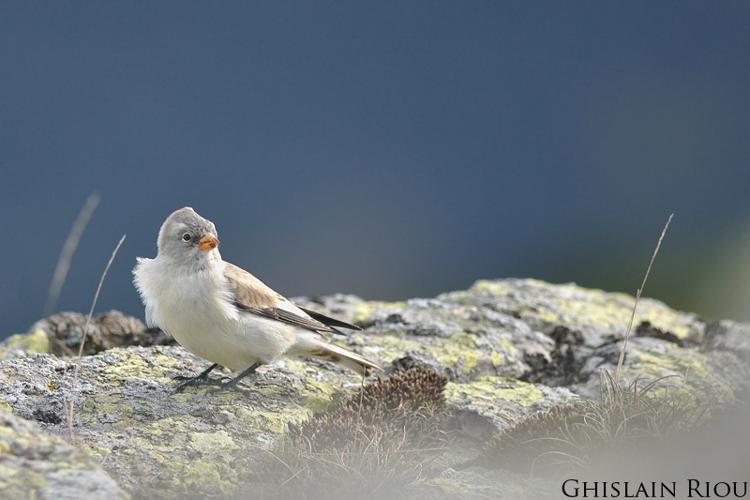 Niverolle alpine © Ghislain Riou