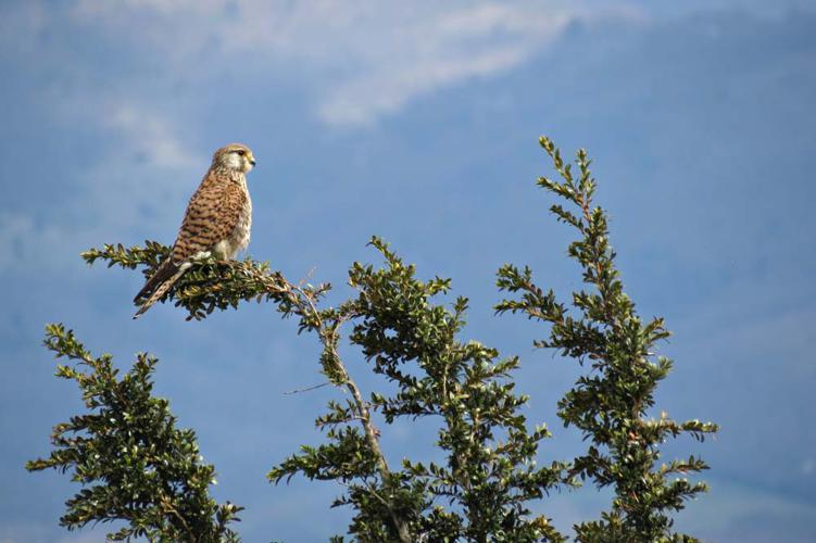 Faucon crécerelle femelle - Falco tinnunculus - Ariège © Claudine Delmas