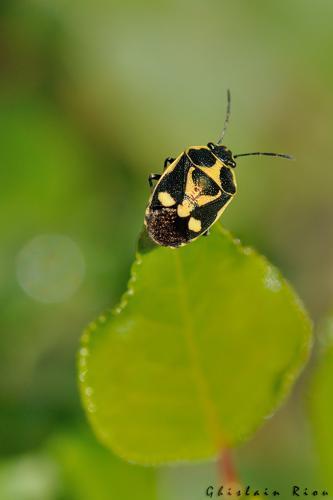 Eurydema oleracea © Ghislain Riou