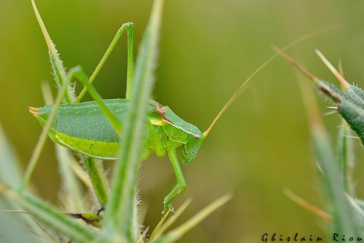 Isophya pyrenaea mâle, Portet-d'Aspet 31 © Ghislain Riou