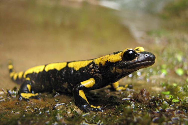 Mise bas Salamandre tachetée - Salamandra salamandra terrestris - Ariège © Claudine Delmas