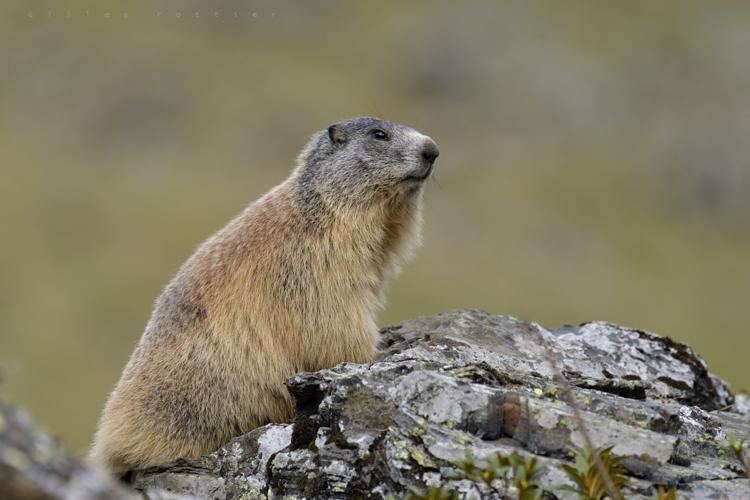 Marmotte - Marmota marmota - Massif de l'Arbizon. © Gilles Pottier