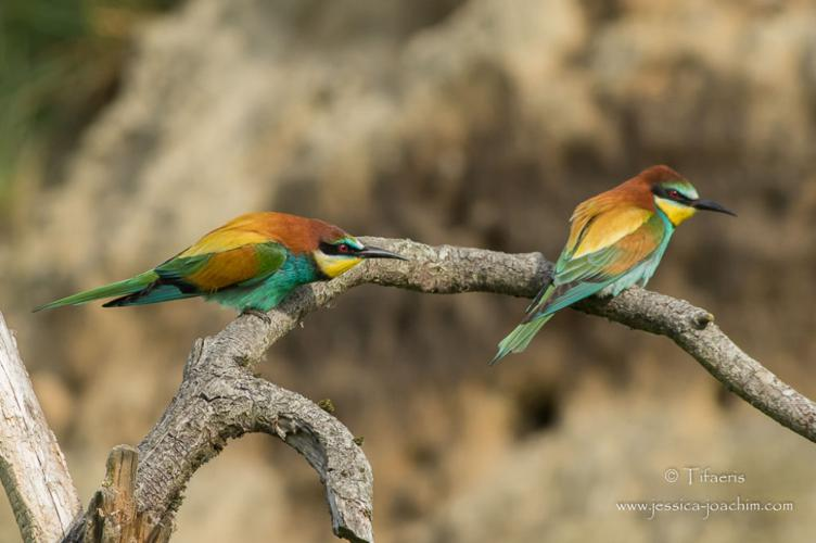 Guêpier d'Europe - Merops apiaster © Jessica Joachim