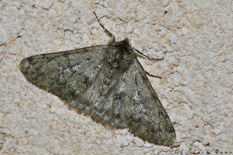 Phigalia pilosaria, Ste-Foy-d'Aigrefeuille 31 © Ghislain Riou