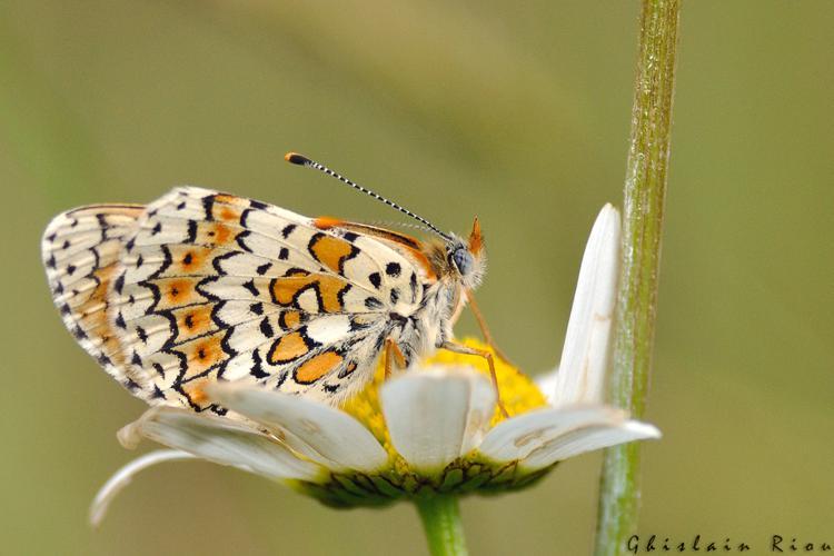 Melitaea cinxia, Ste-Foy-d'Aigrefeuille 31 © Ghislain Riou