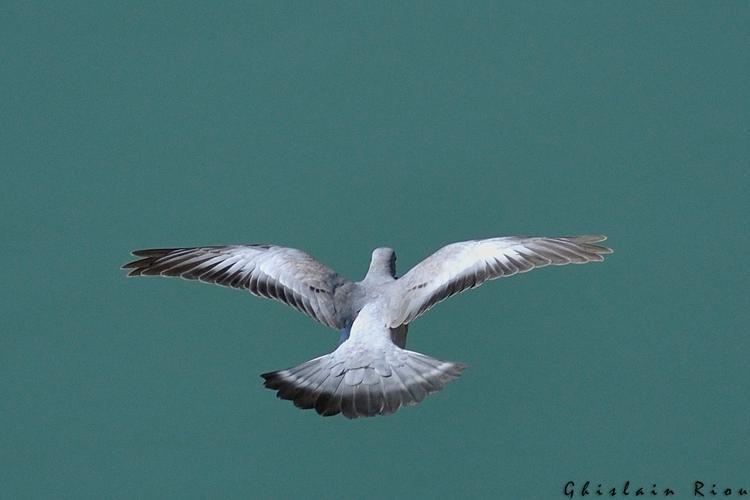 Pigeon colombin, Toulouse 31 © Ghislain Riou