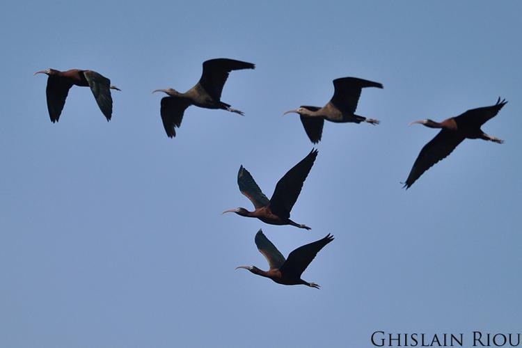 Ibis falcinelle, Vauvert 30 © Ghislain Riou