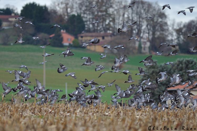 Pigeon ramier, Puydarrieux 65 © Ghislain Riou