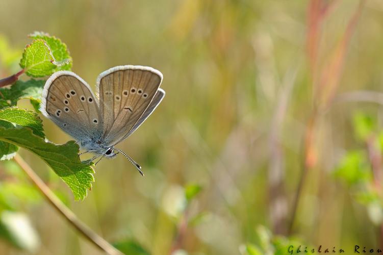 Cyaniris semiargus femelle, Fonbeauzard 31 © Ghislain Riou