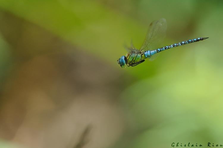 Aeshna affinis mâle, Launaguet 31 © Ghislain Riou