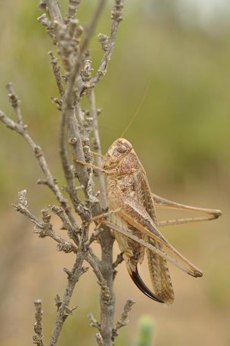Platycleis albopunctata, femelle, Gorges de l'Orbieu 11 © Ghislain Riou
