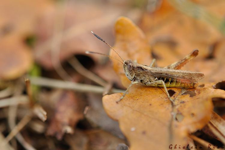 Gomphocerus rufus mâle, Cénevières 46 © Ghislain Riou