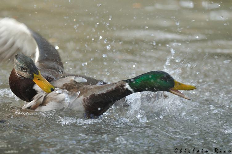 Canard colvert, Toulouse 31 © Ghislain Riou