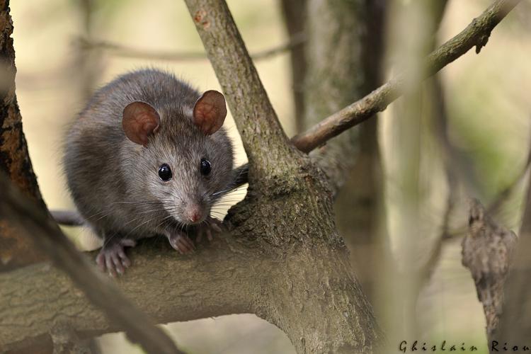 Rat surmulot, Balma 31 © Ghislain Riou