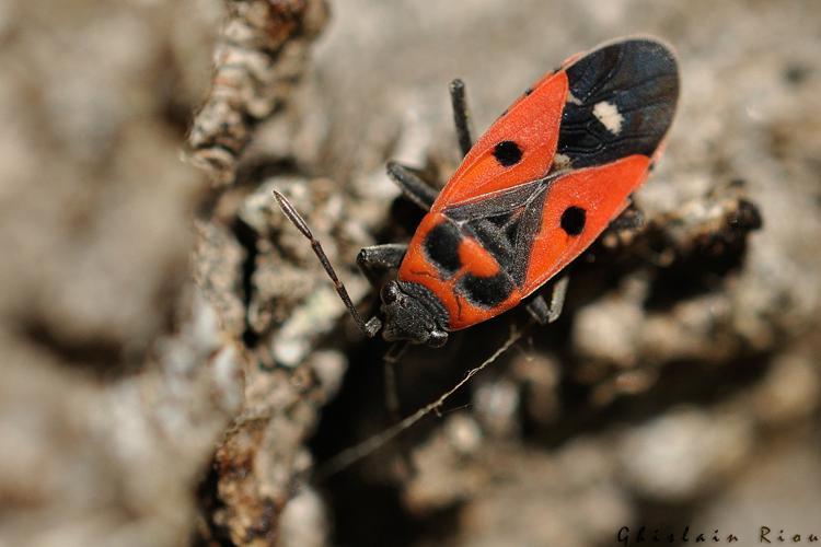 Melanocoryphus albomaculatus, Rebigue 31 © Ghislain Riou