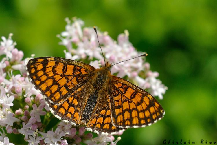 Melitaea nevadensis, Niaux 09, 06 mai 2020 © Ghislain Riou