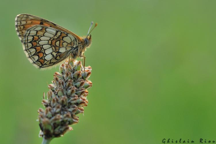 Melitaea parthenoides mâle, Rebigue 31, mai 2020 © Ghislain Riou