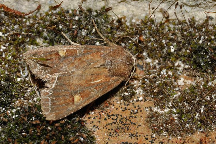 Lacanobia oleracea, Rebigue 31, mai 2020 © Ghislain Riou
