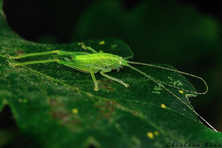 Cyrtaspis scutata larve fem, Rebigue 31, juillet 2020 © Ghislain Riou